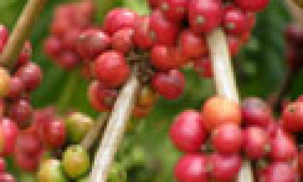 buwunga-coffee