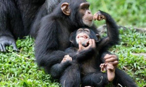 Chimpanzee-Family-300x206