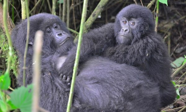 LEO1484-Mother-and-baby-gorilla