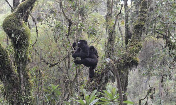 Thinking-about-a-mountain-gorilla-trip-to-Rwanda