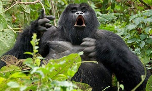 2-Days-Bwindi-Gorilla-Trekking